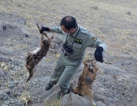 تلف شدن حیات وحش در خراسان جنوبی به دلیل سوء تغذیه