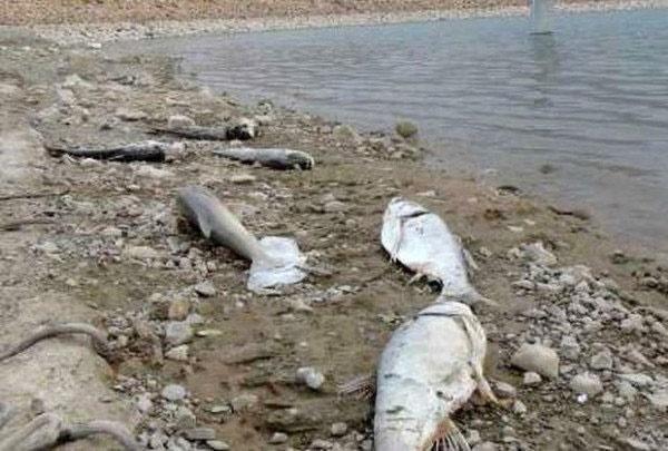 هزاران ماهی زرینهرود مردند