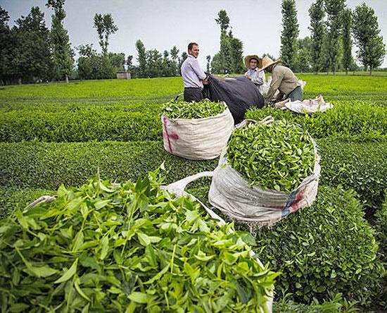صادرات چای داخلی ممنوع نیست