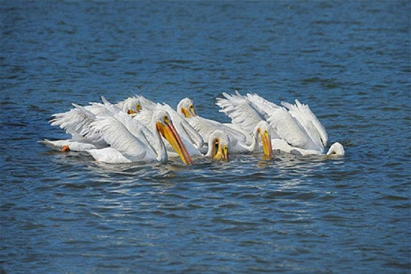 پلیکانهای سفید در پارک ملی دریاچه ارومیه فرود آمدند