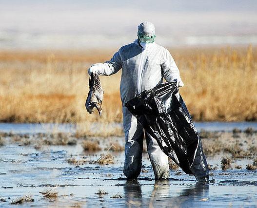 آنفلوآنزای فوق حاد پرندگان؛ تلف شدن ۳ هزار پرنده وحشی در پارک ملی بوجاق