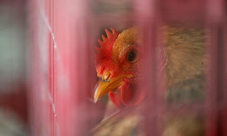 نخستین مورد ابتلای انسانی با ویروس آنفلوانزای پرندگان H۷N۴ در چین