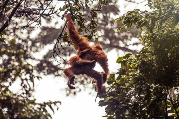 مرگ ۱۰۰ هزار اورانگوتان طی ۱۶ سال