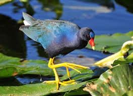خشک شدن نیزارها جمعیت طاووسک گیلان را کاهش داد