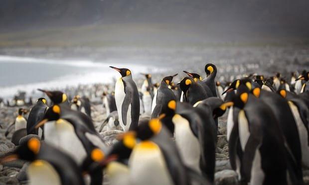 پنگوئنهای پادشاه در پایان راه