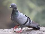 مرگ بیش از ۵۰۰۰ کبوتر در اسلامآباد