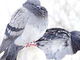 نظارت بر آلایندههای زیستمحیطی به کمک کبوترها
