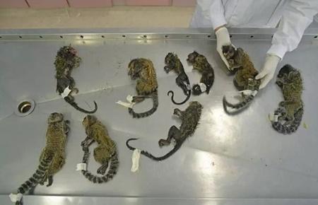 ترس از شیوع تب زرد و کشتار غیرقانونی میمون ها در برزیل
