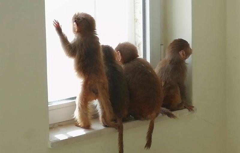 قاچاقچی هشت بچه میمون در مرز سردشت دستگیر شد