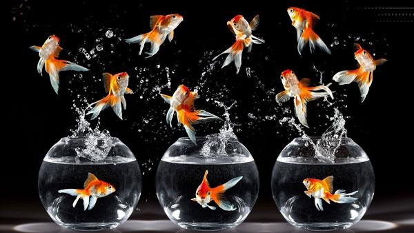 اگر ماهی قرمز دارید، بخوانید