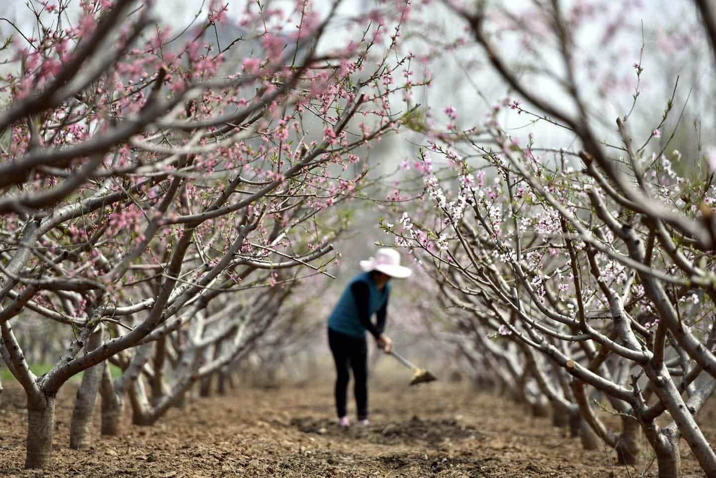 عکس روز: باغ هلو