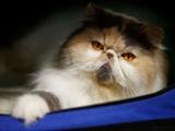 عکس روز: گربه پرشین