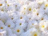 کاهش بوی گلها در اثر آلودگی محیط