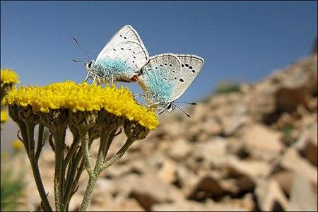 پروانه های زاگرس می میرند | جانوارن و گیاهان دیگر هم خواهند مرد