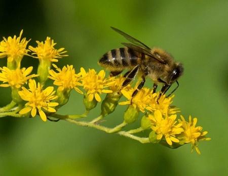 تایید آسیب آفت کش ها بر زنبورها
