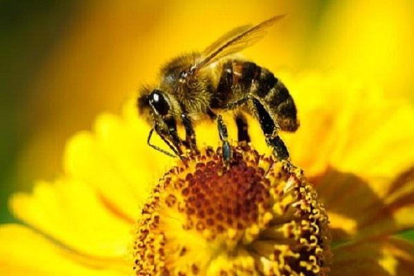 کاهش ۳ هزار نفری جمعیت زنبور عسل خراسان جنوبی