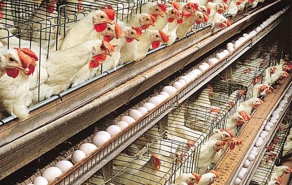 برخی استانها هنوز درگیر آنفلوآنزای مرغی هستند