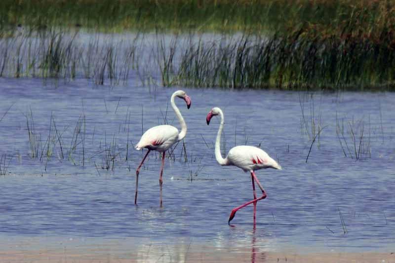 فلامینگوهای دریاچه ارومیه در مرحله جوجهآوری هستند