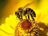 کاهش ۳ هزار زنبور عسل خراسان جنوبی
