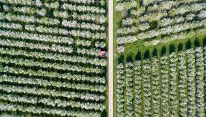 عکس روز: شکوفه داده این باغ آلبالو
