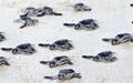 کشف ارتباط میان میدان مغناطیسی و لانهگزینی لاکپشتها