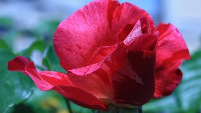 اسرار ژنتیکی گل رز برملا شد