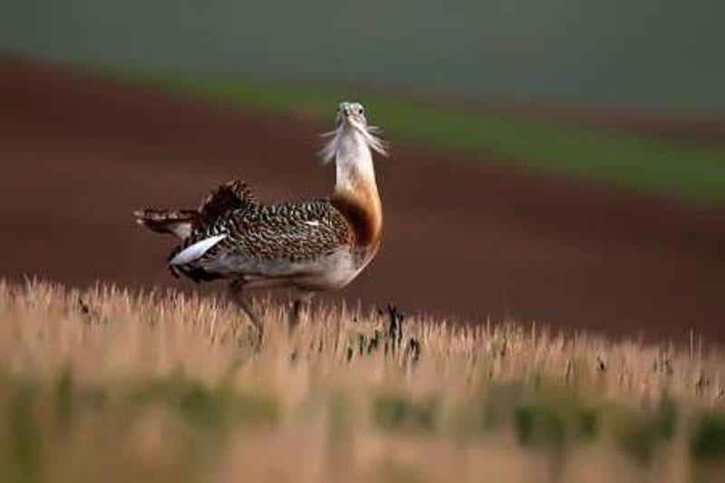 خطر انقراض میش مرغ در بوکان