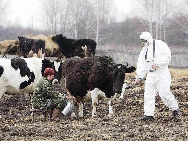 آثار حادثه چرنوبیل در شیر گاوهای اوکراین