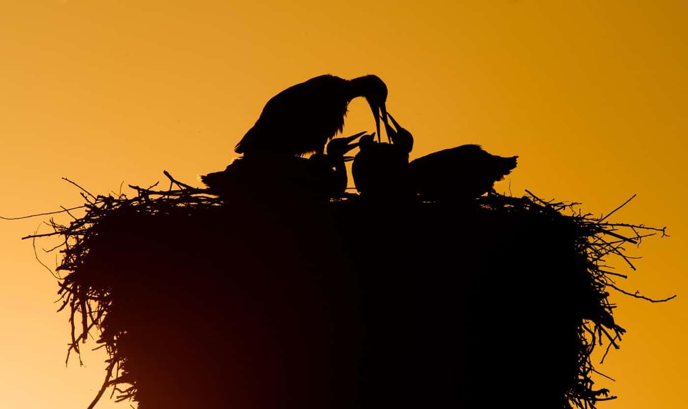 عکس روز: لکلک در آشیانه