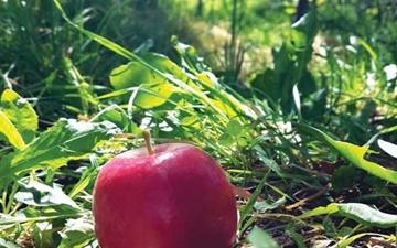 درخت سیب بیبیگل