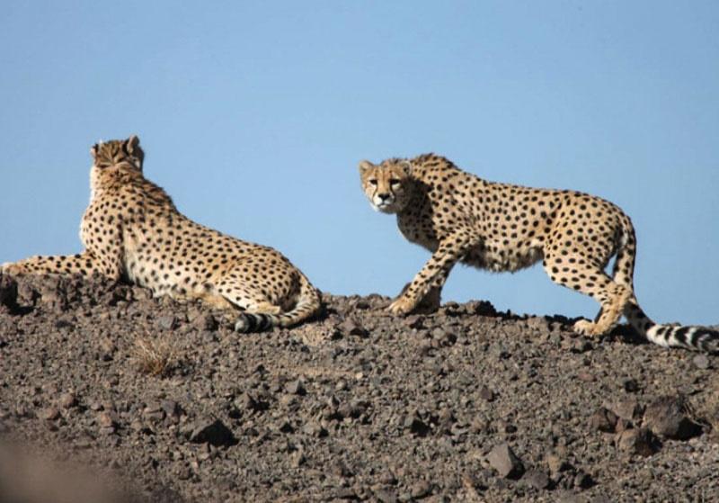 ۲ قلاده یوزپلنگ بالغ در جاجرم مشاهده شد