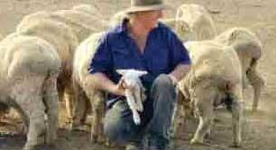 گوسفند -حوادث