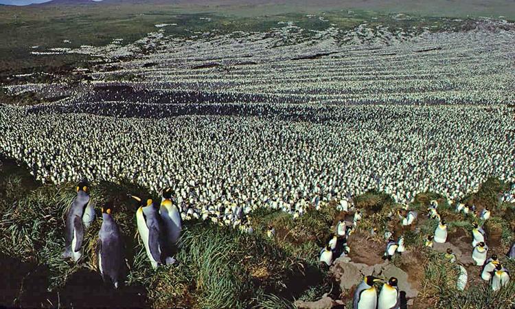 کاهش ۹۰ درصدی شاهپنگوئنها در بزرگترین تجمع پنگوئنهای دنیا