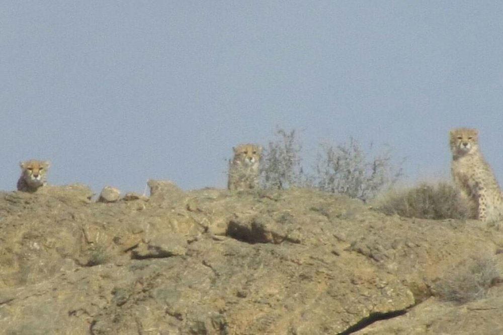 ۵ قلاده یوزپلنگ آسیایی در پارک ملی توران شاهرود مشاهده شد