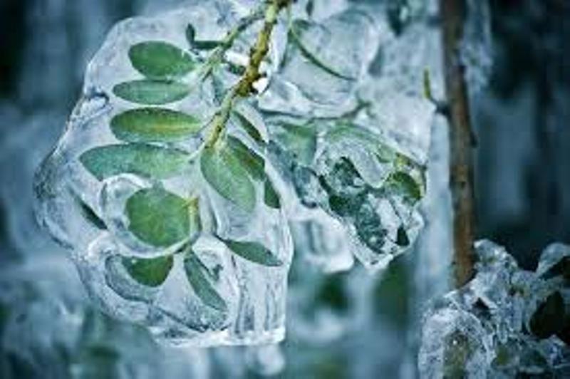 تغییرات اقلیم خطر سرمازدگی درختان را افزایش میدهد