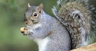 سنجابها، ناجی درختان بلوط زاگرس