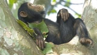 صنعت پالم تهدید جدید پیشروی میمونهای آفریقایی
