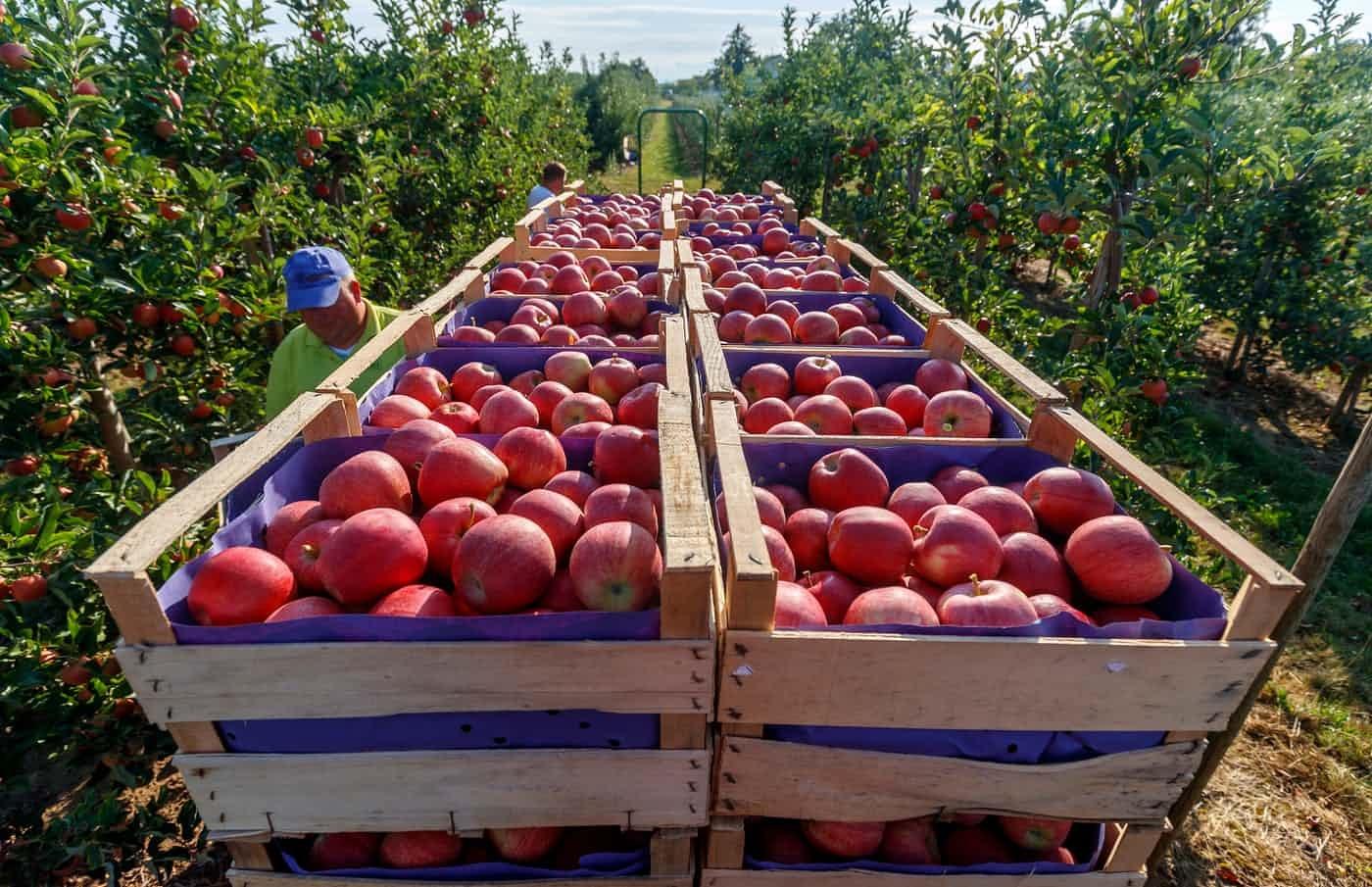 عکس روز: برداشت سیب