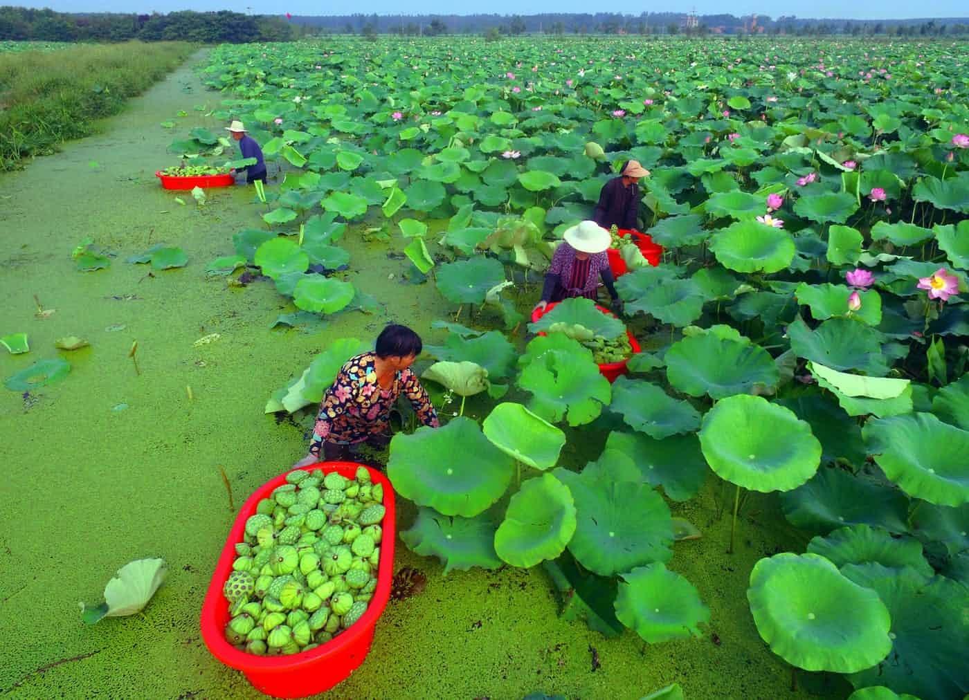 عکس روز: برداشت بذر نیلوفر آبی