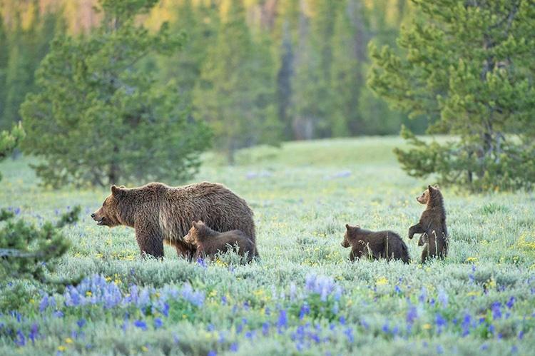شکار میکند خرسها را؛ نه با گلوله که با دوربین