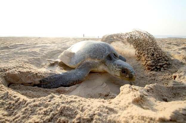 مرگ ۳۰۰ لاکپشت در معرض خطر در مکزیک