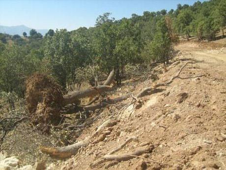 جنگلهای لرستان به بیماری زوال بلوط مبتلا هستند