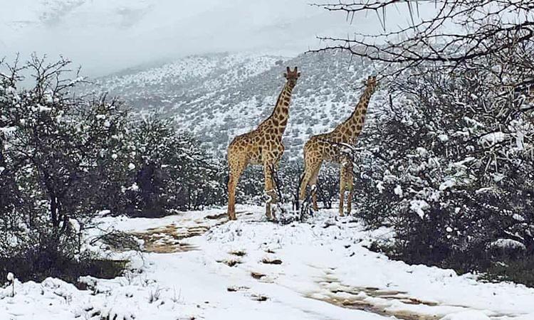 زرافه در هوای برفی آفریقای جنوبی