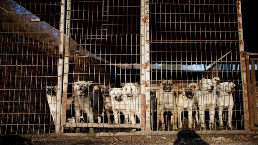 درخواست مقامات ویتنام از ساکنان هانوی | گوشت سگ نخورید