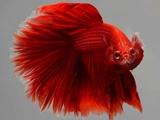 عکس  روز: ماهی جنگجو