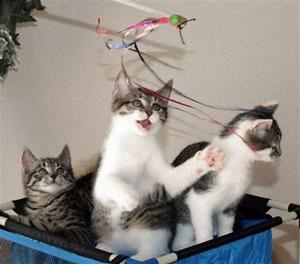 سه بچه گربه حاصل ازکپیکت