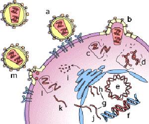 چرخه تکثیر ویروس ایدز
