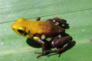 The newly-discovered golden frog of Supata could fit on the tip of your finger