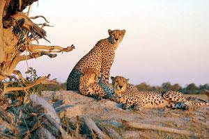 چند ایرانی یوزپلنگ را میشناسند؟