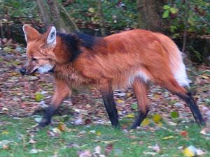 روباه یالدار